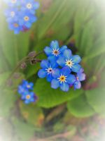 Forget Me Not by WhirlingBlue