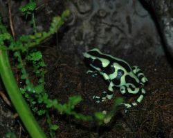 Green and Black Dart frog by photographer1969