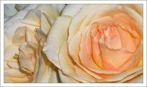 rose by Antosia