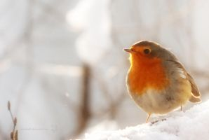Sweet Robin by XanaduPhotography