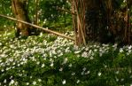 See a sea of wood anemones by younghappy