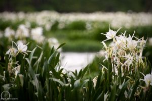 Landsford Lilies 3 by eagle79