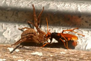 Spider Wasp dragging Huntsman by foquinha156