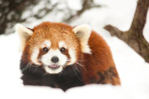 Red Panda by Karelliann