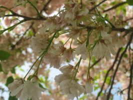 Cherry blossoms by ShadowTheShinigami