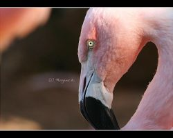 flamingo I by moem-photography