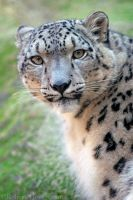 Snow Leopard 7735 by robbobert