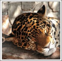 How a Leopard sleeps by maccarta