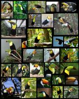 MY COLLAGE OF GOOGLED TOUCANS. by German-Shepherd-Girl