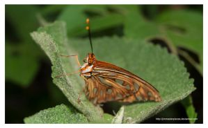 Agraulis vanillae  butterfly by Jimmasterpieces