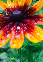 After the Rain: Red and Yellow Coneflower II by Eternalesque