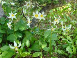 Avalanche Lillies by speedyfearless