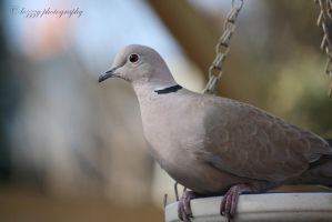 Collared Dove by lozzzy