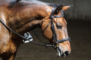 Bay Westphalian Warmblood Portrait by LuDa-Stock