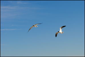 two laughing gulls by TreborNehoc