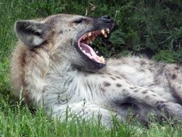Toronto Zoo: Spotted Hyena by d-estruct