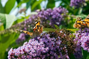 Two Painted Ladies by duncan-blues