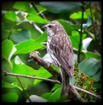 Female Purple Finch 02 by JocelyneR