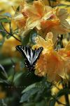 Rhodie Swallowtail by andras120