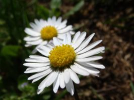 marguerite by ruphoto