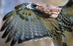 Red-tailed Hawk I by StephKai