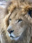 Aslan the Lion 1 by VisibleBeauty