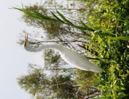 Great White Egret in Tree by Shadow848327