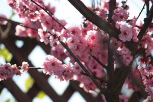 Plum Blossoms 2 by tynafish