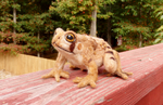 Needle Felted Eastern American Toad by DancingVulture