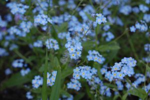 Stock 128 - Forget-Me-Nots by pink-stock