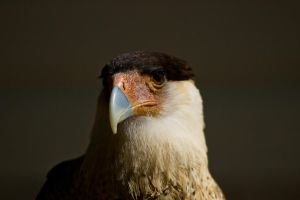 Crested Caracara by King-Dolphin