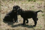 Labrador Puppies Pose by greensh