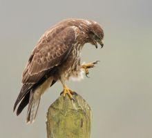 Damn I broke a nail - common Buzzard by Jamie-MacArthur