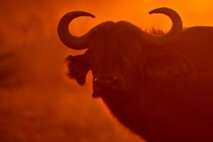 African Buffalo 2 by catman-suha