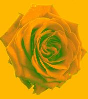 Buttercup Rose by NomNom2010