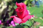 Flowers: Rose 12 by Abletodoall