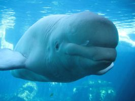 Beluga Whale by 1BeautifulSoul