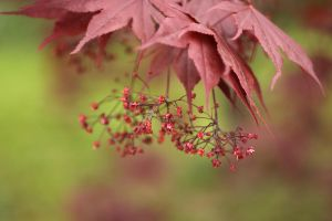 Red Spring Leaves by bloknayrb