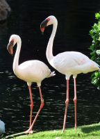 Flamingo duo - Maui by wildplaces