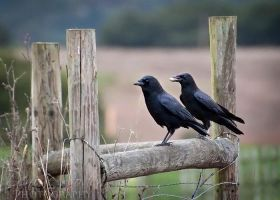 Country Crows by DeniseSoden