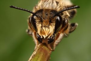 Wet solitary bee series_4 by macrojunkie