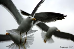 Seagull Kings by Yinxy