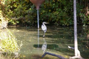 Great blue heron 6 by Silver-she-wolf-14