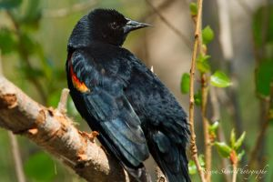 .Red Winged Blackbird by Mac-Wiz