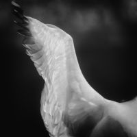 Herring Gull, Wing Detail by clippercarrillo