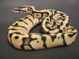 Ball Python 3 by FearBeforeValor