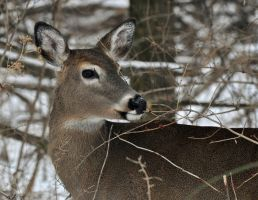 Winter Whitetail by masscreation