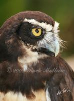 Spectacled Owl by SteelCowboy