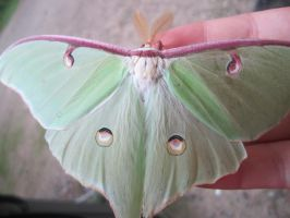 Wings Of A Luna Moth by VertoAtrum