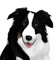 Border Collie by Gillus99
